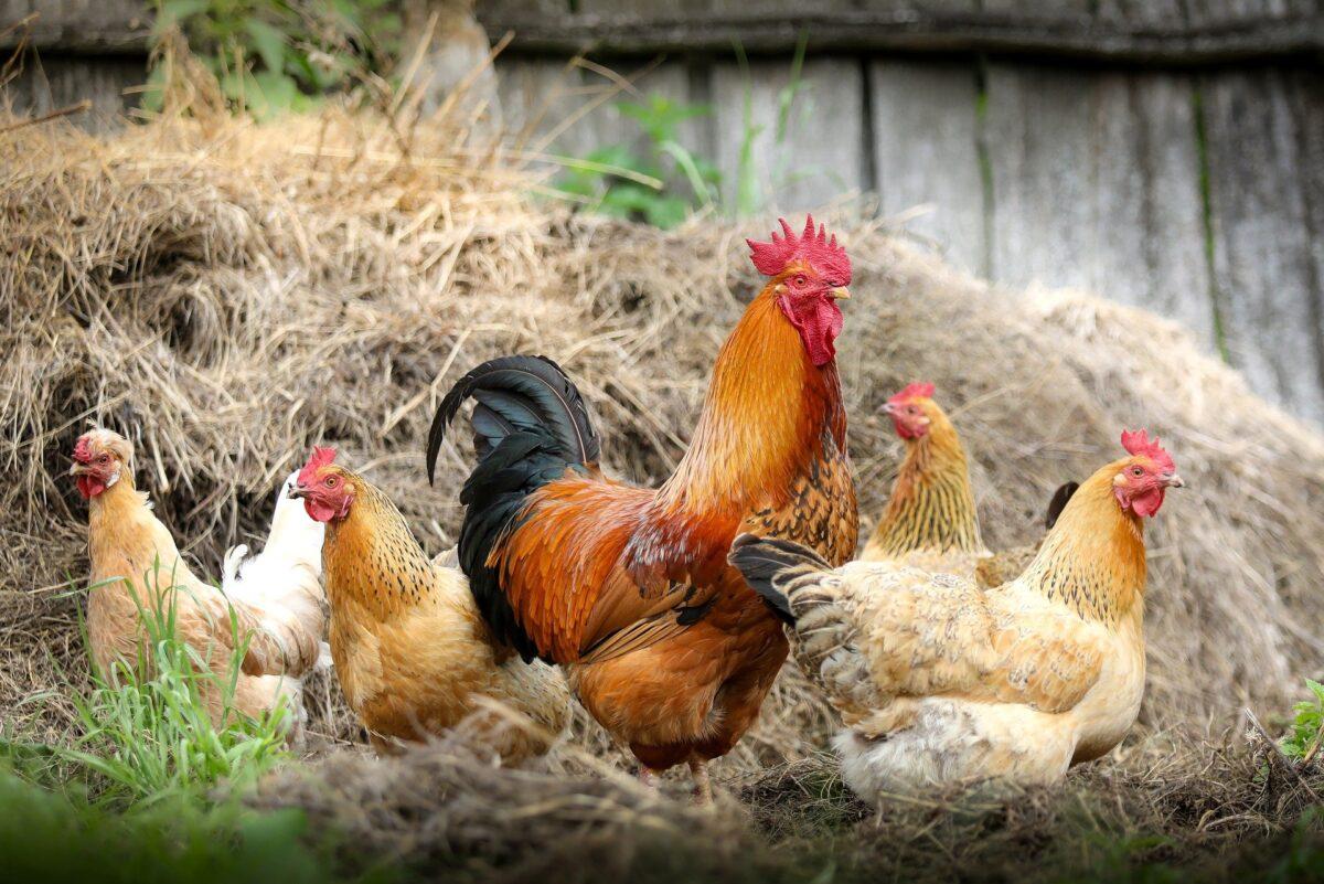 Recrudescence de cas d'influenza aviaire